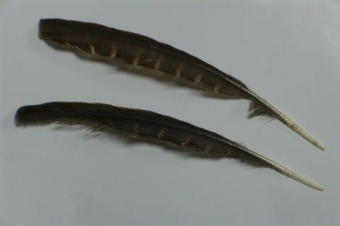 ヤンバルクイナの画像 p1_35